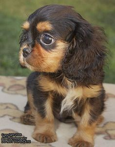 Cavalier King Charles Spaniel Puppy - I'm pretty sure I need this puppy.  so do a lot of other people!  :  ) Black and Tan Cavalier King Charles Spaniel