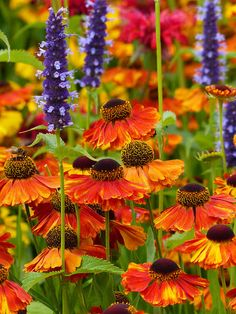 Helenium (unsure which cultivar) | Flickr - Photo Sharing!