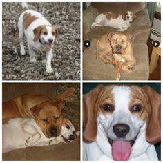 reunited  Lost Pets Help! Missing Beagle named Hazel from East Main Street - Jewett City.  8 yr old Female Beagle Lemon/White  40 lbs/fatty  She loves children, car rides and most of all food. Very friendly. Snuck out the door without her collar on early Monday afternoon. Please share and contact via Facebook Messenger or 860-710-5307 Thank you for your help. Her fur brother Leo has been whining and looking for her.