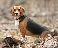 #Beagles require stern training starting when they're young, the beagle makes a great audio and visual companion to a bird hunter. What are other breed that make the best bird dog? Click the picture to find out
