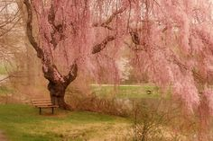 Cherry Blossom RP by DCH Paramus Honda Sales Associate Ladi Shehu http://ladi-shehu.dchparamushonda.com