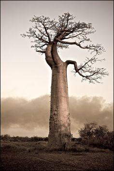 Tree Baobab tree More at FOSTERGINGER @ Pinterest