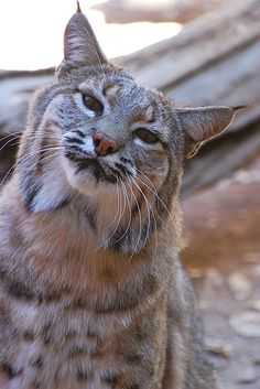 "Wild Bobcat in Tucson (by wplynn) Heart says ""awww"", brain says ""she will RIP your face right off"". Big Cats, Cool Cats, Cats And Kittens, Lynx, Animals And Pets, Cute Animals, Wild Animals, Baby Animals, Cat Bobcat"