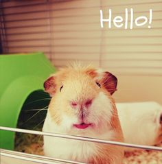 Hello wheeklies! Today were covering the topic of smelly guinea pig cages and what you can do to beat those pongy smells to help everything smell fresh again! This is also really helpful if