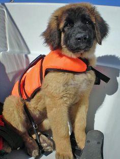 my future puppy- leonberger