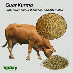 High in protein Guar Kurma is a meal from Guar Gum. Extracted from seeds, Guar meal and Guar gum, of the same plant. Guar Kurma is naturally rich in carbohydrates and protein shall be mixed well in water and feed it to animals.