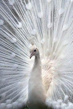 white peacock #white