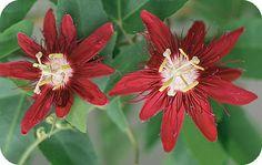 Passiflora Lady Margaret - een passiebloem met rode bloemen: SNOEIEN - STEKKEN - ZAAIEN - SOORTEN PASSIEBLOEMEN - KLIMPLANT
