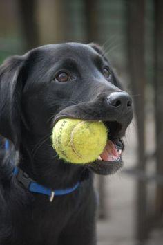 Black lab with tennis ball
