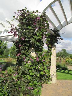 Gorgeous pergola covered in sweet peas at Longfellow Gardens, Minnehaha Falls