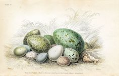 Free Vintage Clip Art - Gorgeous Bird's Eggs - The Graphics Fairy