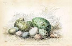 Free Vintage Clip Art - Gorgeous Bird's Eggs - The Graphics Fairy