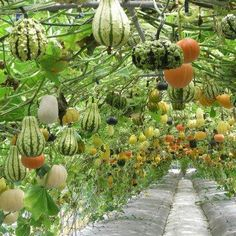 hanging gourd garden - A wonderful and beautiful idea for growing these fruit with uniformity. #verticalvegetablegardeningideas