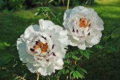 Gartenkunst oder Wege nach Eden: Päonia rockii - zarte Blüten, robuste Pflanzen…