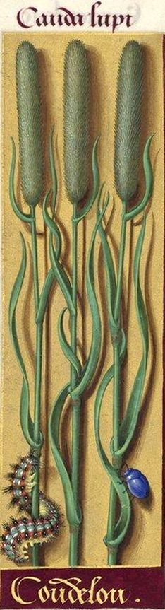 """Coudelou - Cauda lupi (La graminée représentée ici est certainement un Phleum ou un Alopecurus, marsette ou vulpine, mais il est impossible de l'identifier d'une manière plus précise. """"Coudelou"""" est pour """"coue de loup"""" ; la forme """"coue"""" (queue) existe encore dans le patois du Berry) -- Grandes Heures d'Anne de Bretagne, BNF, Ms Latin 9474, 1503-1508, f°148v"""
