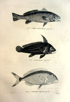 Different types of FISHES 1860 fish engraving rare fish