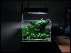 5.5G ADA Mini M low-tech tank with anubias nana, anubias nana petite, java fern trident, pennywort, marsilea minuta, fissidens fontanus, weeping moss,  CRS, yellow shrimp and corydoras habrosus