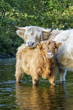 Highland Cattle - Knoydart, Scotland