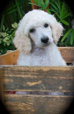 Cream Standard Poodle Puppy.