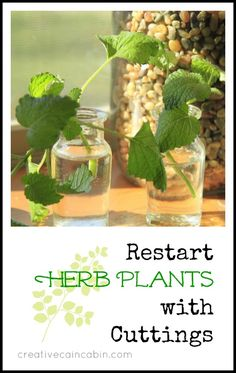Take Cuttings from Fresh Herb Plants