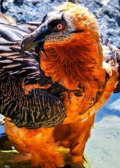 bearded vulture, gypaetus barbatus by hakoar
