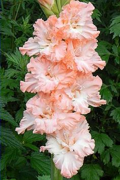 Gladiolus 'The Good Fairy'