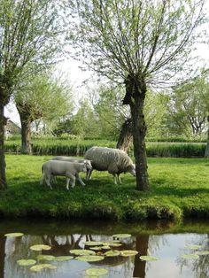 Beautiful Sheep.