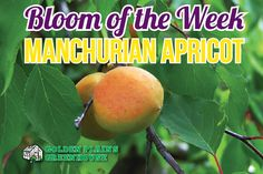 Manchurian Apricots - Bloom of the Week at Golden Plains Greenhouses (Kleefeld, Manitoba) Greenhouses, Fruit Trees, Mango, Bloom, Gardens, Green Houses, Manga, Glass House, Conservatory