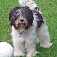 Dutch sheepdog