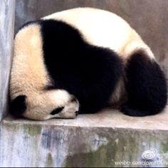 Aww panda