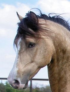 Morgan stallion MEMC Crown Royal... Magnificent buckskin beauty!