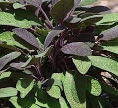 Information, pictures, and remedies that can be found in the common sage plant, one if the most popular herbs Growing Greens, Growing Herbs, Healing Herbs, Medicinal Herbs, Sage Plant, Plant Leaves, Herb Garden, Vegetable Garden, Kitchen Herbs