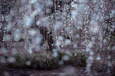Hidenobu Suzuki Japan, cerezos en flor