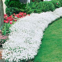 Snow-in-Summer (Cerastium tomentosum): Perennial groundcover for hot, sunny sites, fine-textured silver foliage topped by pure white star-shape flowers in late spring and early summer, holds up to light foot traffic, Full sun and well-drained soil, Zones: 3-7, 6-8 inches tall.