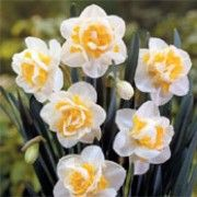 Narcissus 'Unique' (Daffodil 'Unique') Click image to learn more, add to your lists and get care advice reminders each month.