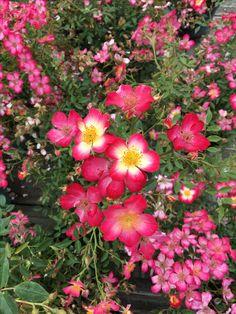 Bapt me de 39 la rose thelma 39 avec carole tolila et thomas isle roseraie les chemins de la rose - Jardin de la rose doue la fontaine ...