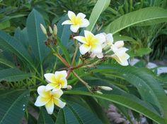 花植物のプルメリア