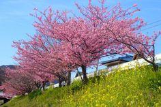 cherry‐blossom viewing, Kawadzu, Shizuoka