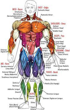 musculatory body system