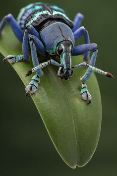 Magnificus | A most colorful weevil (25mm, Eupholus magnifi… | Flickr - Photo Sharing!