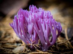 """Clavaria zollingeri (the violet coral) 