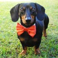 Wedding Dog Bow Tie: Cat or Dog