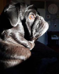 Puglosopher... . #pugthing #pugs #pugsoninstagram #puglove #puglife #pug #doglover #ilovedogs #dogsofinstagram #instapug #instadog #blackpug #fawnpug #pugsofholland