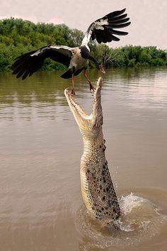 Darwin, Northern Territory, Saltwater Crocodile by francomottironi