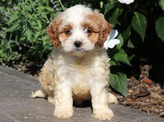 Buddy Keystone Pup Buddy Keystone Puppies Puppies For Sale Health Guaranteed Cavapoo Keysto Cavapoo Puppies Cavapoo Puppies For Sale Puppies