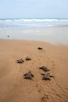 SriLankas Meeresschildkrötenfarm zählt wie die Mangroven-Bootstouren, der Tempel am Kande Vihara oder der Singharaja Regenwald zu einem der Ausflüge rund um Bentota. Die Farm ist cirka 11 km von Bentota entfernt und mit einer Fahrtzeit von cirka 15 Minuten im Tuk Tuk erreicht. Sie befindet sich in Kosgoda. Kosgoda ist eine kleine Küstenstadt im Galle District im Südwesten von Sri Lanka.