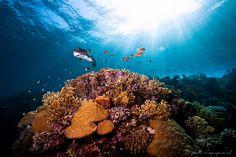 """Aan het einde van de dag levert de zon achter het rif van Marsa Shagra aan de Rode Zee een mooi strijklicht op, zegt Van Loon. """"Ik zag de puffer zwemmen; ik zocht een lager standpunt en wachtte tot hij over de rand van het koraal kwam. Met de zon op de achtergrond heb ik het koraal, de kogelvis en de overige vissen met twee flitsers uitgelicht."""" Door communitylid edvanloon - NG FotoCommunity ©"""
