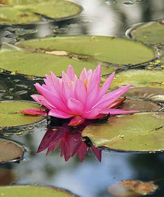 bareroot Fish or Wildlife Pond and bog Aquatic Plants Nymphaea Rose Arey Water Lily Small Water Lilies