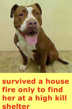 Manhattan Center SHAY - A1031511 FEMALE, BROWN / WHITE, PIT BULL MIX, 2 yrs, 6 mos STRAY - ONHOLDHERE, HOLD FOR DISASTER Reason FIRE Intake condition UNSPECIFIE Intake Date 03/28/2015 https://www.facebook.com/photo.php?fbid=985019494844263