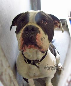 ★★★GONE★★★ --- A4851169 My name is Ralph. I am a very friendly 3 yr old male white/br brindle American Bulldog mix. I came to the shelter as a stray on July 1. available 7/6/15 NOTE: Pit bulls are not kept as long as others so those dogs are always urgent!! Baldwin Park shelter https://www.facebook.com/photo.php?fbid=996248510386986&set=a.705235432821630&type=3&theater